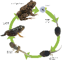 Frog life cycle  Frogs start out as frogspawn,...