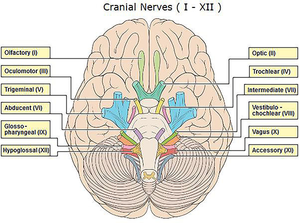 cranial nerves - credo reference, Human Body