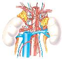 Located just above the kidneys (1), the two...