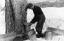 To collect maple sap, farmers drill holes 2 to 3...