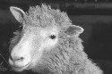 Dolly the sheep, the first animal cloned from DNA...