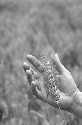 A new kind of engineered wheat, grown at...