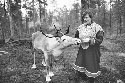 Saami woman feeding a reindeer in...