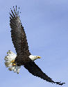Bald Eagle in flight. (iStockPhoto)