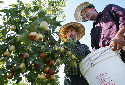 Michael Yang, left, helps Thomas Ly pick fruit...