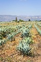 Agave cactus grows in a field field near Tequila,...