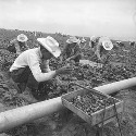 "Generally, the ""braceros"" do the stoop labor,..."