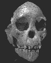 The Taung Child. This skull showed that humans...
