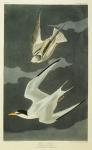 Lesser Tern. Little Tern (Sterna Albifrons) from 'The Birds of America' (aquatint & engraving with hand-colouring)