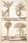 Plate showing palm tree types: dragon's blood, washingtonia, coconut palm, sagu palm, Engraving from Denis Diderot, Jean Baptiste Le Rond d'Alembert, L'Encyclopedie, 1751-1757 Entitled Histoire Naturelle (Natural History)