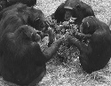 Chimpanzees sharing food.