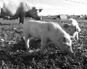 Outdoor sow and piglets rooting and...