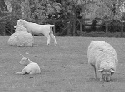 The nutritional management of grazing lambs is...