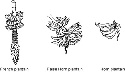 Inflorescence types (Source: Swennen...
