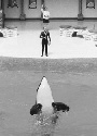 Orca performing the daily show at...