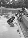 Orca feeding programme at Marineland,...