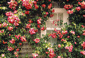 Rose-covered cottage on Nantucket 								Island