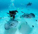 Divers swimming with stingrays at Stingray...