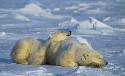Polar bears will roll in the snow to cool down....