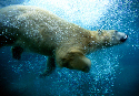 Paw paddles  Polar bears are superb swimmers,...