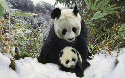 Mother love  By the time a giant panda cub is...