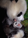 Female pandas usually give birth to one or two...