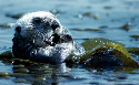 Safely stowed  Sea otters are found in beds of...