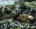 At Home with Sea Otters