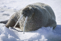 Ice man  This walrus is resting on pack ice in...
