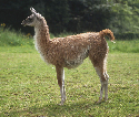 Ancient servant  Native to the Andes, llamas were...