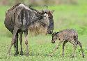 Wildebeest calves are born during the rainy...