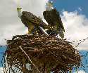 Nesting  Bald eagles pair up for life, building a...