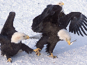 Fighting for food  Bald eagles will fight others...