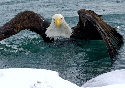 A bald eagle can lift about half its weight. If a...
