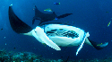 The flying filter feeders  Manta rays use the...