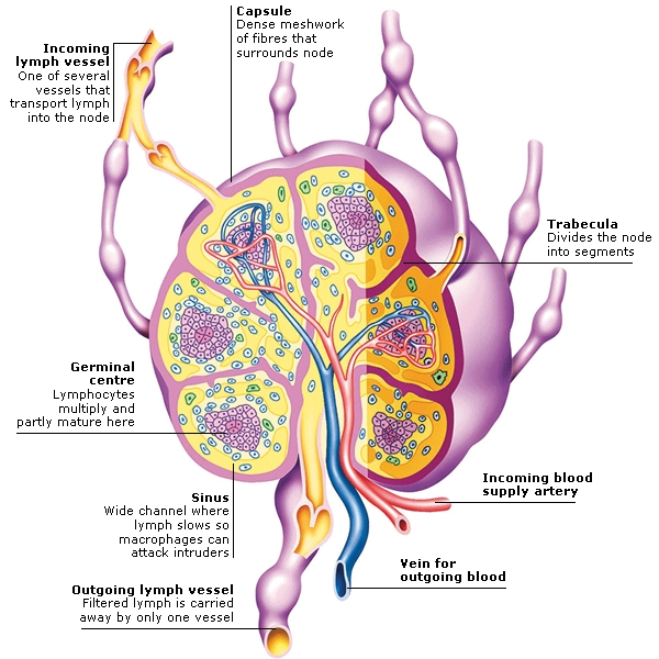 The Inside Of The Human Body Diagram Of Cells Block And Schematic