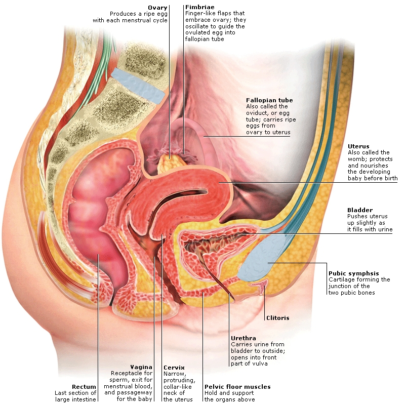 female reproductive system - credo reference, Human Body