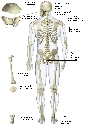 Bone shapes The shape of a bone indicates its...