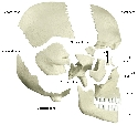 Skull and head regions Two sets of bones form the...