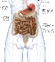 The middle digestive tract The stomach is...
