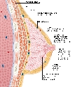 Breast cross-section Each breast rests on the...