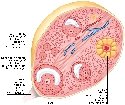 Inside an ovary The ovary contains undeveloped...
