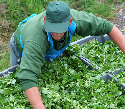 Watercress harvest