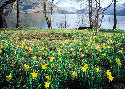 Daffodils covering the shore of Ullswater
