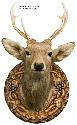 Wall-mounted trophy of a sika deer