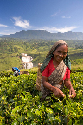 Many Tamil women are employed as tea pickers.