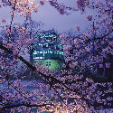 Cherry blossoms by Takada Castle in Takada Park,...