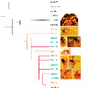 A cladogram of the bee subfamily Apinae...