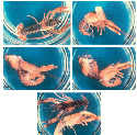Molting of a juvenile lobster (Homarus...