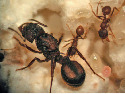 Queen and workers of fungus-growing ant...